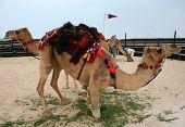 Hobbled Camels