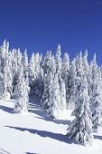 Snow Covered Pine Trees Against Blue Sky poster