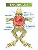 Frog Anatomy Labeled Vector Illustration Scheme. Educational Preparation For Biology, Anatomy Or Zoo poster