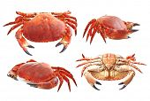 Red crab on white background