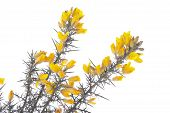 Yellow Gorse  On White