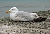 Gull 1