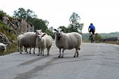 foto of the lost sheep  - Sheeps on road greece curious and looking - JPG