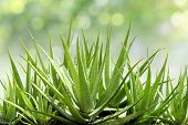 Aloe Vera, Fresh Leaf Of Aloe Vera In Farm Garden Natural Background Sun Light Bokeh Nature Green, A poster