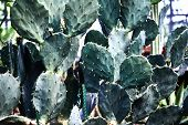 Green Succulents Cacti. Close-up. Background. Plant Leaves Close-up. Botanical Garden. Tropical Plan poster