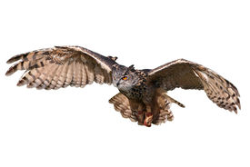 pic of owls  - Flying owl with spread wings isolated on white - JPG