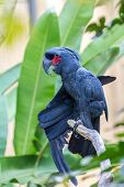 picture of palm cockatoo  - Palm Cockatoo Parrot  - JPG