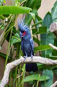 stock photo of palm cockatoo  - Palm Cockatoo Parrot  - JPG
