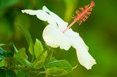 Hibisco blanco arnottianus
