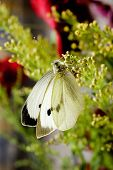 Pieris Brassicae  Or Large White Butterfly.