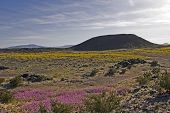 Volcanic Crater Amboy California Mojave Desert In Spring