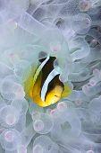 Clown fish, Amphiprion clarkii, hiding in bleached sea anemone Entacmaea quadricolor