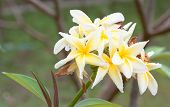 Close Up Of Frangipani Flower Or Leelawadee Flower Blooming On The Tree After The Rain