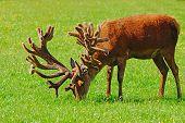 Red Deer Stag In Velvet