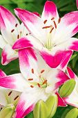 Beautiful pink hemerocallis flowers