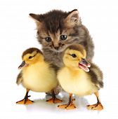 Small kitten and ducklings isolated on white