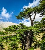 Cedar woods in the mountains on blue sky background, Lebanese nature, beautiful landscape, evergreen