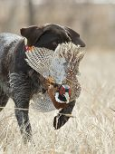 foto of ringneck  - A hunting dog bringing back a rooster pheaant - JPG