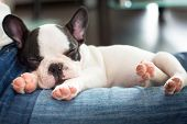 stock photo of bulldog  - French bulldog puppy sleeping on knees - JPG