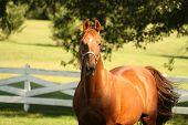 Bright Chestnut Horse In Pasture