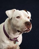 White deaf, blind pitbull head shot