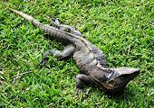 Monitor Lizard On A Grass