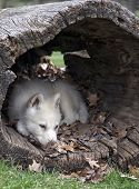 image of hollow log  - Young arctic wolf pup naps in a hollowed log - JPG