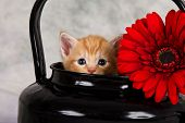 stock photo of lovable  - Kitten in black kettle with red flower funny hide - JPG