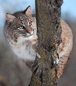 Bobcat (rufus do Lynx) atrás de filial