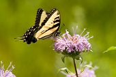 Eastern Tiger Swallowtail (papilio Glaucas)