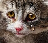 image of abused  - Animal abuse and pet cruelty and neglect with a sad crying kitten cat looking at the viewer with a tear of despair as a concept of the need for humane treatment of living things - JPG