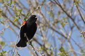 Red Winged Black Bird Singing.