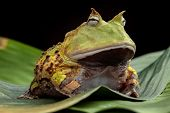 Pacman frog or toad, South American horned frogs Ceratophrys cornuta Tropical rain forest animal liv