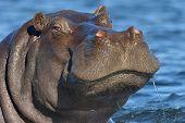 Hippopotomas in water
