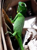image of arriere-plan  - Green Iguana - JPG