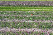picture of snake-head  - field with many Fritillaria meleagris flowers of snake - JPG