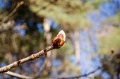 Conker Tree Horse Chestnut Bud Spring