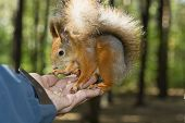 The Tamed Squirrel Eats From Hands