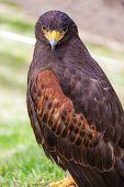 Staring Falcon