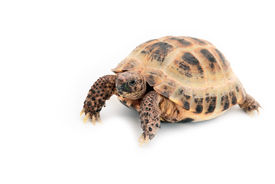 stock photo of russian tortoise  - little Asian  - JPG