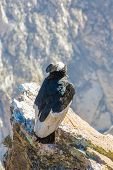 Condor At Colca Canyon  Sitting,peru,south America.