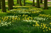 grass lawn with daffodils in spring garden