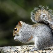 An adult Grey Squirrel(Sciurus carolinensis) feeding.