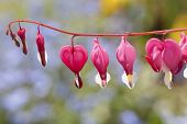 Bleeding heart flowers (Dicentra spectabils) in the home garden.