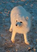 stock photo of arctic fox  - An arctic fox searches for food in the snow near Churchill Manitoba - JPG