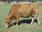 stock photo of charolais  - australian beef cattle  - JPG