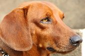 Profile photo of brown  dachshund dog