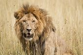 image of southeast  - Impressive male lion in high grass Serengeti National Park Tanzania Southeast Africa - JPG