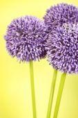 Tres flores púrpura Alium