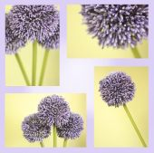 Montage Of Purple Alium Flowers